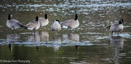 A gathering of geese