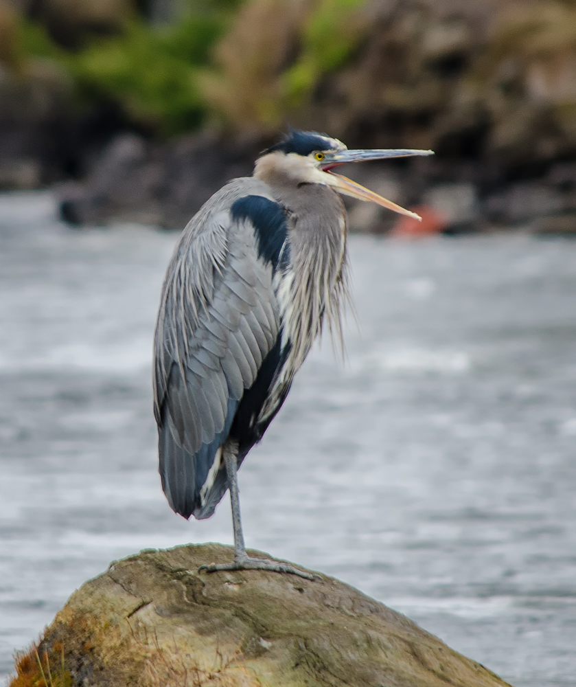 Great Blue Heron sitting on a log