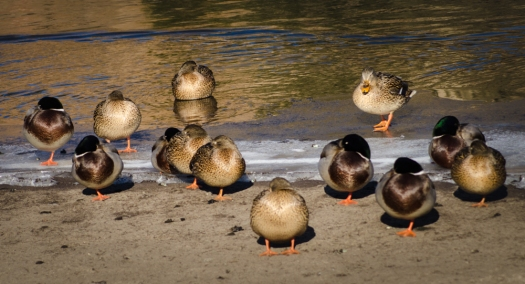 Ducks Sunbathing