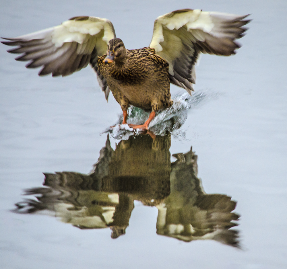 Duck landing on the river