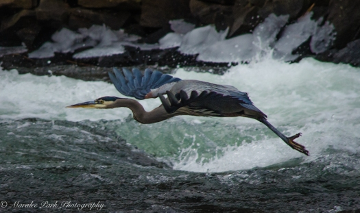 Great Blue Heron in flight