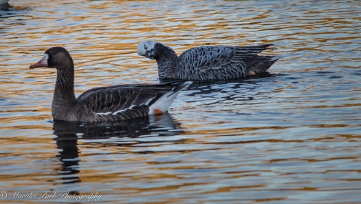 Emperor Goose with Greater White-Fronted Goose