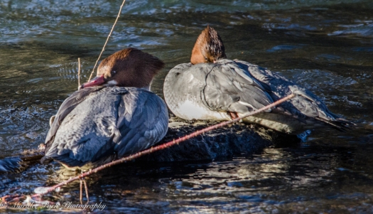 Two female mergansers