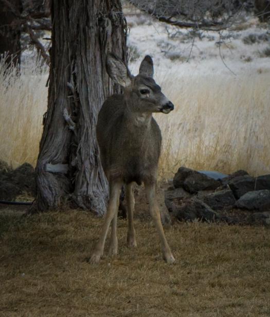 A young deer