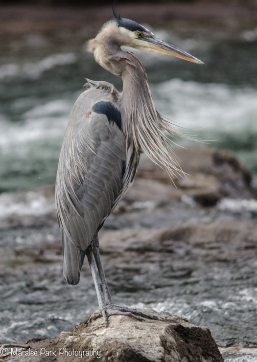 Great Blue Heron in the Wind