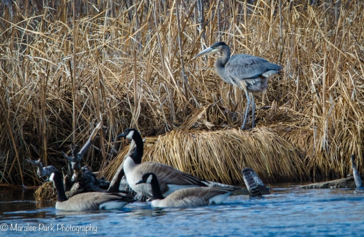 Great Blue Heron and Geese