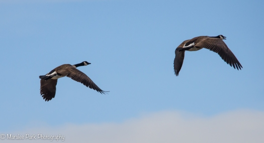 Canada Geese flying away