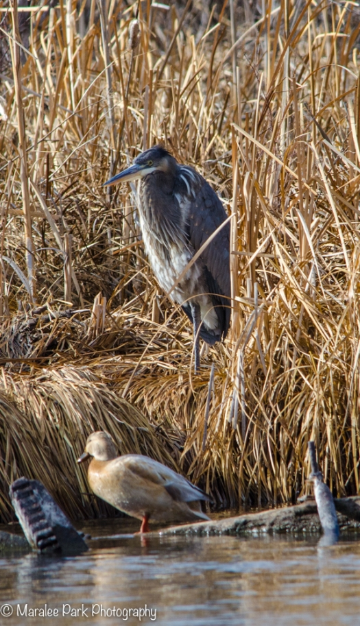 Great Blue Heron and Duck