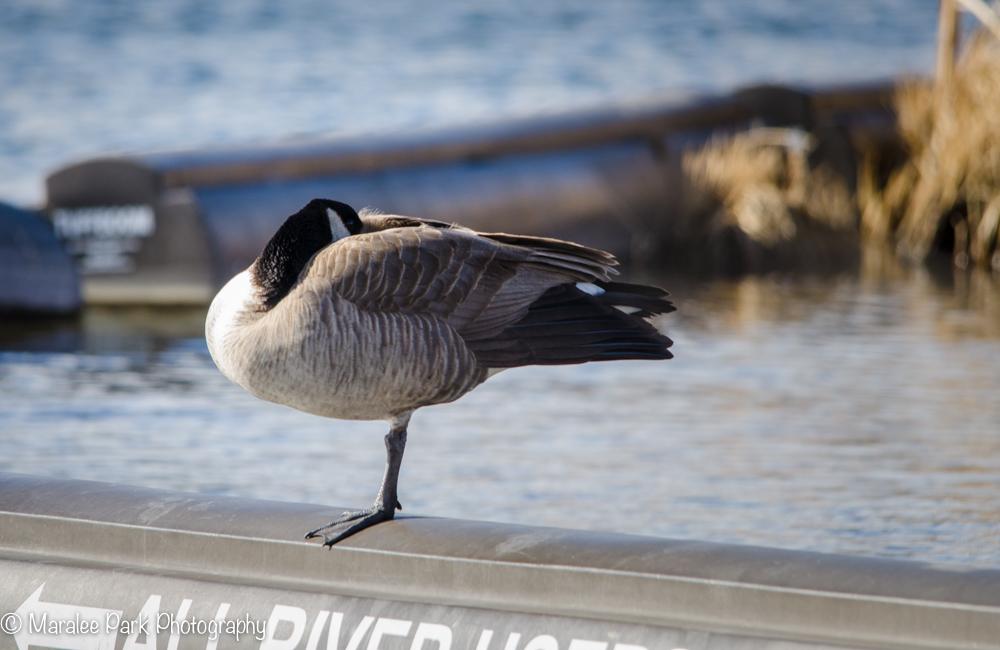Canada Goose on one leg