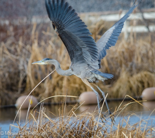 Great Blue Heron Getting Ready for Liftoff