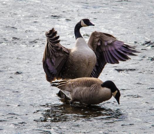 Canada Geese arguing