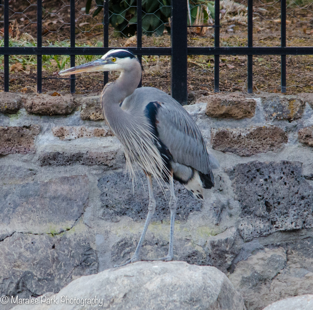 Great BlueHeron