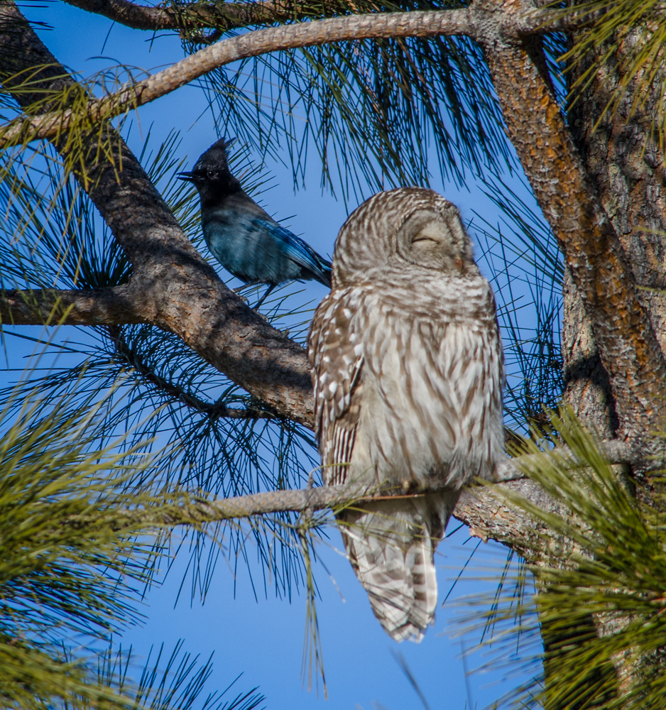 Barred Owl and Steller's Jay