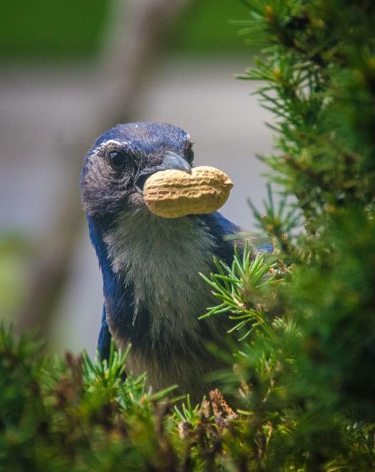 Scrub Jay stealing nuts