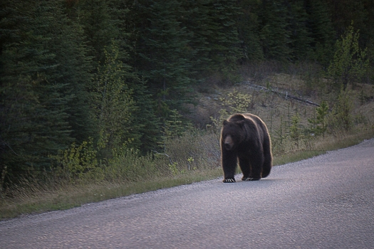 Grizzly walking up the road