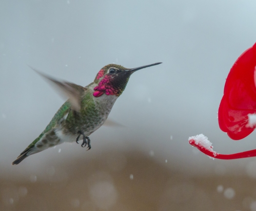 Hummingbird in the snow