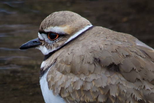 Closeup Killdeer