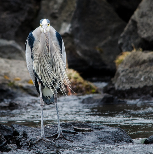 My favorite great blue heron