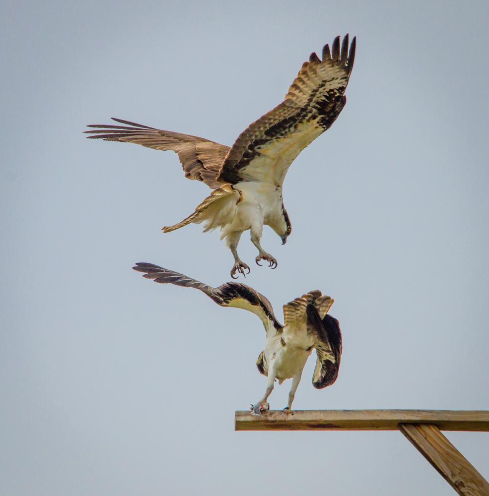 Osprey mating
