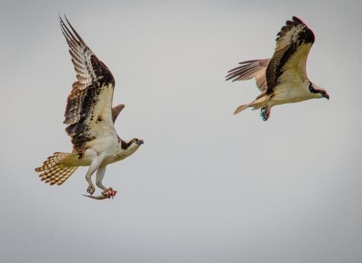 Osprey flying in sync