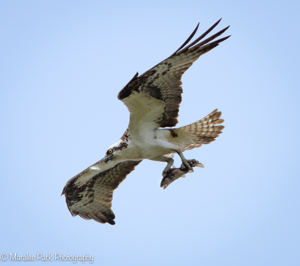 Osprey delivering a fish