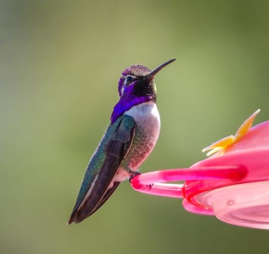Costa's Hummingbird?