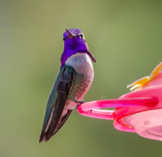 Costa's Hummingbird?