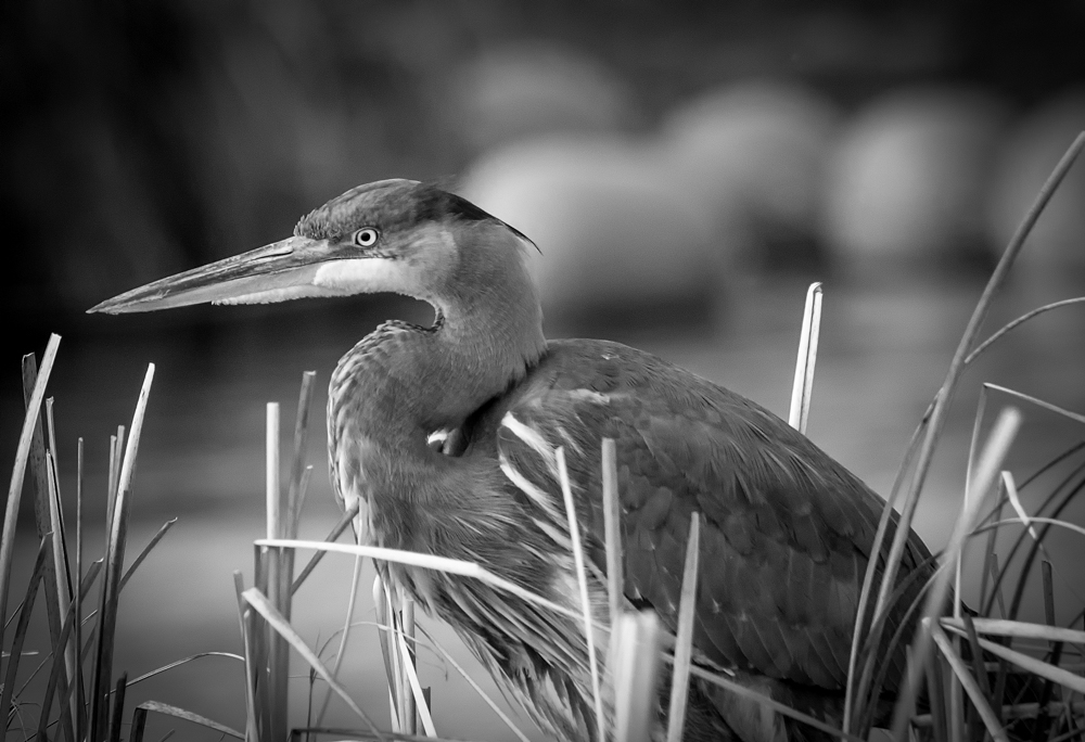 Great Blue Heron in Black and White