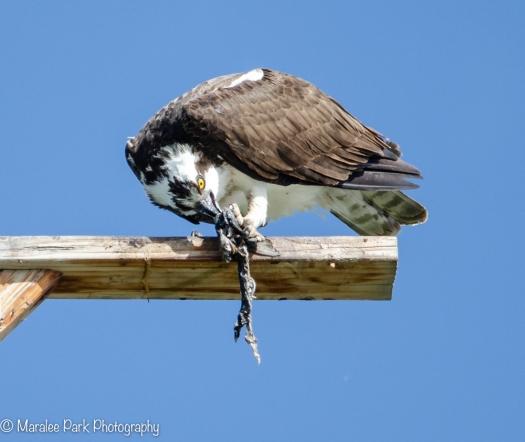 Osprey eating