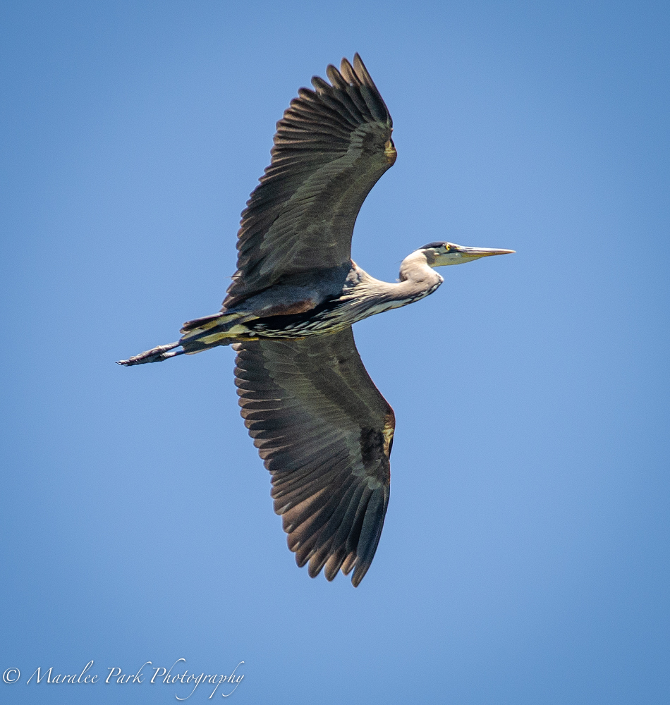 My favorite heron flying overhead