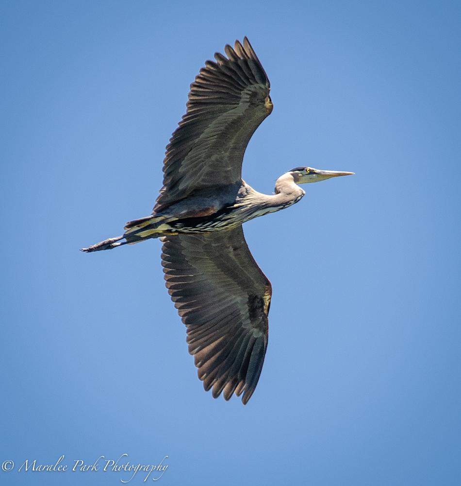My favorite heron flying overhead