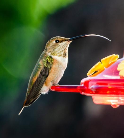 Cute Little Hummingbird