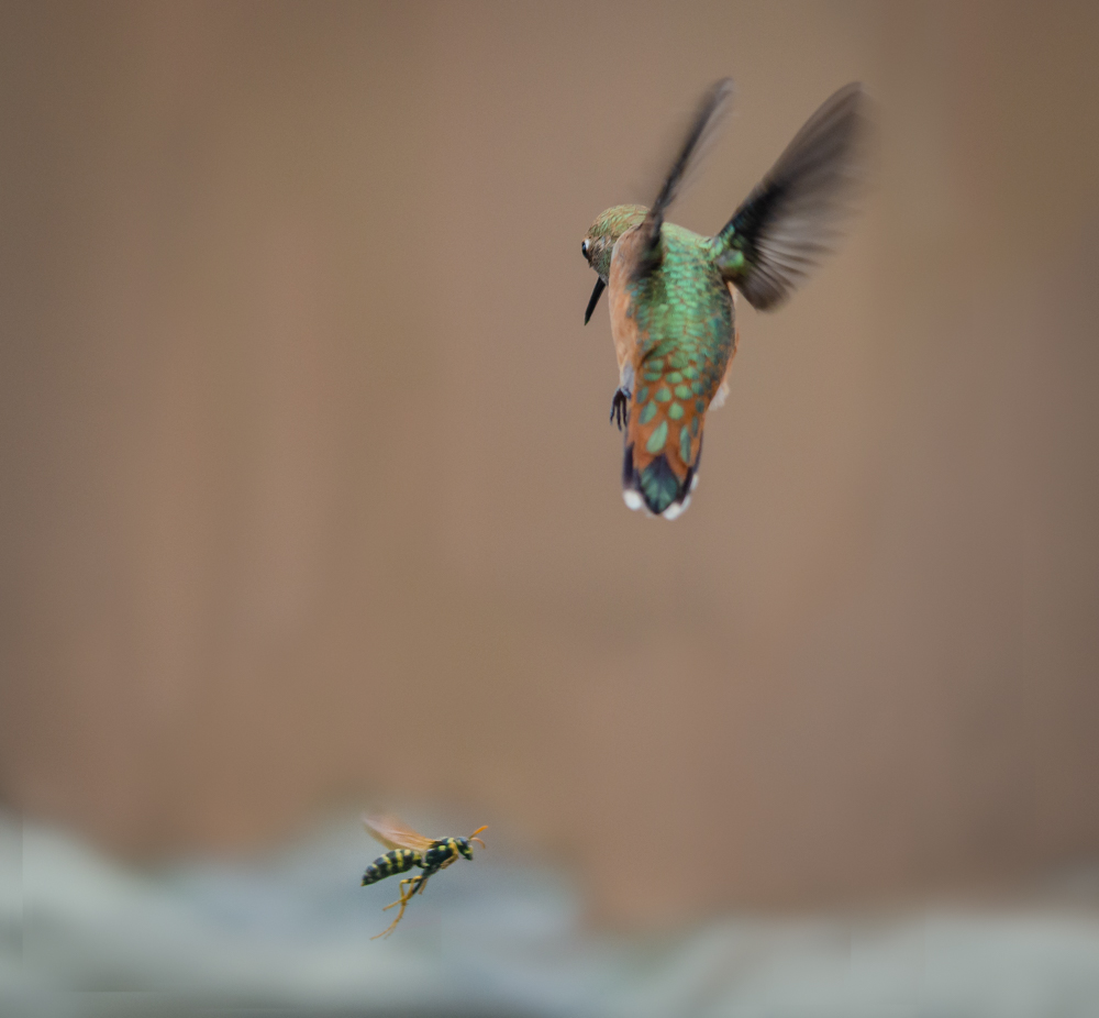 The Hummingbird and the Wasp