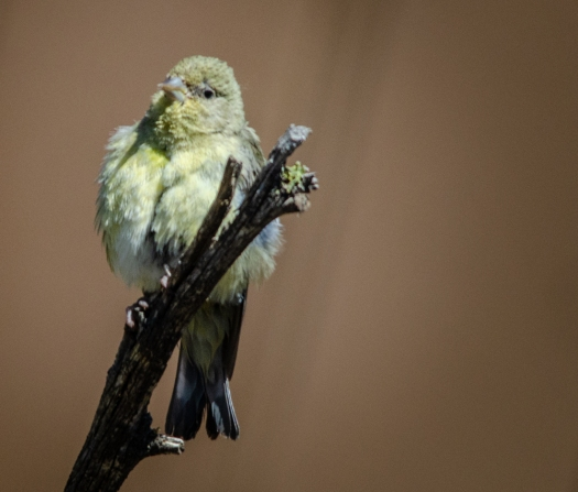 Lesser goldfinch on snag