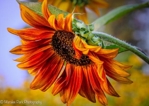 Red and Orange Sunflower