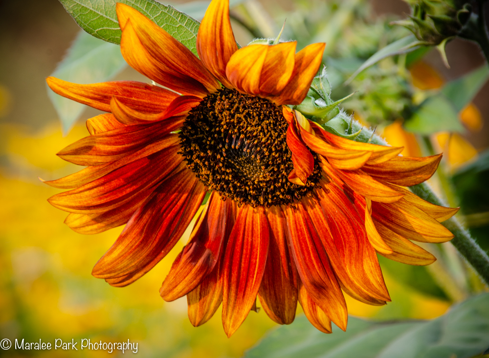 Red and Orange Sunflower