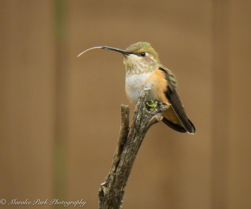 Hummingbird sticking its tongue out