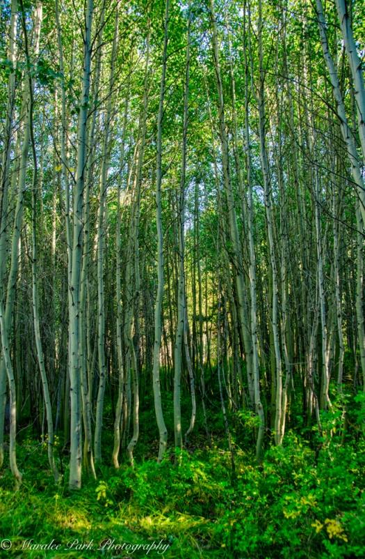 Grove of aspens.
