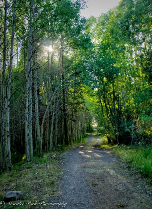 Trail through grove of aspens.