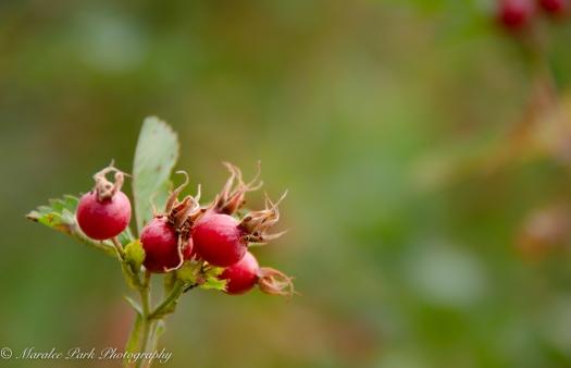 Rose hips on a bush.