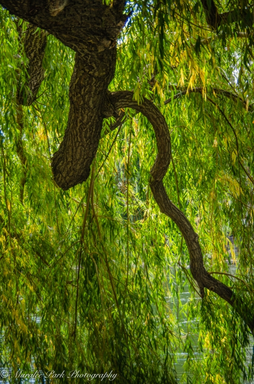 Branch of a weeping willow hanging over the river.