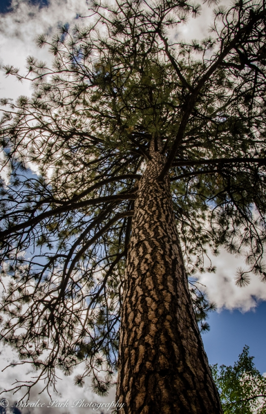 Ponderosa Pine reaching for the sky.