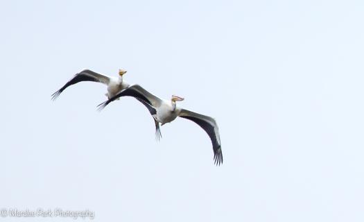 A row of pelicans