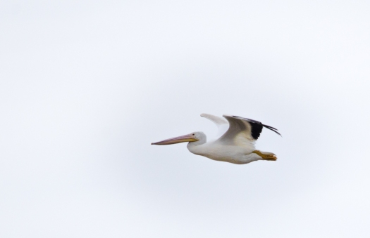 White Pelican flying overhead
