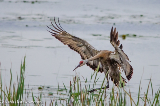 Sandhill Crane coming in for a landing