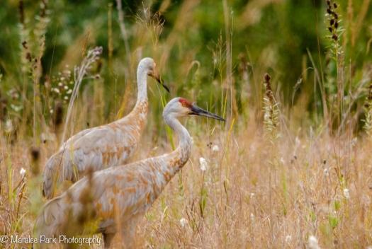 A pair of sandhill cranes