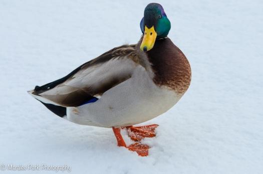 It is a duck