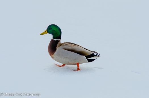 Walks like a duck