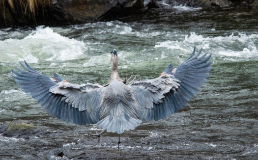 Great Blue Heron wingspan