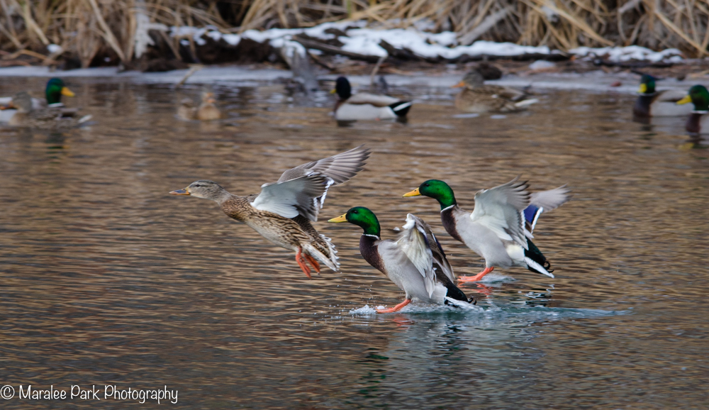 Ducks landing on the river